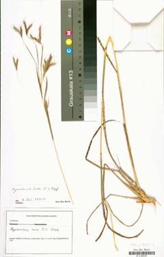 Hyparhenia Hirta